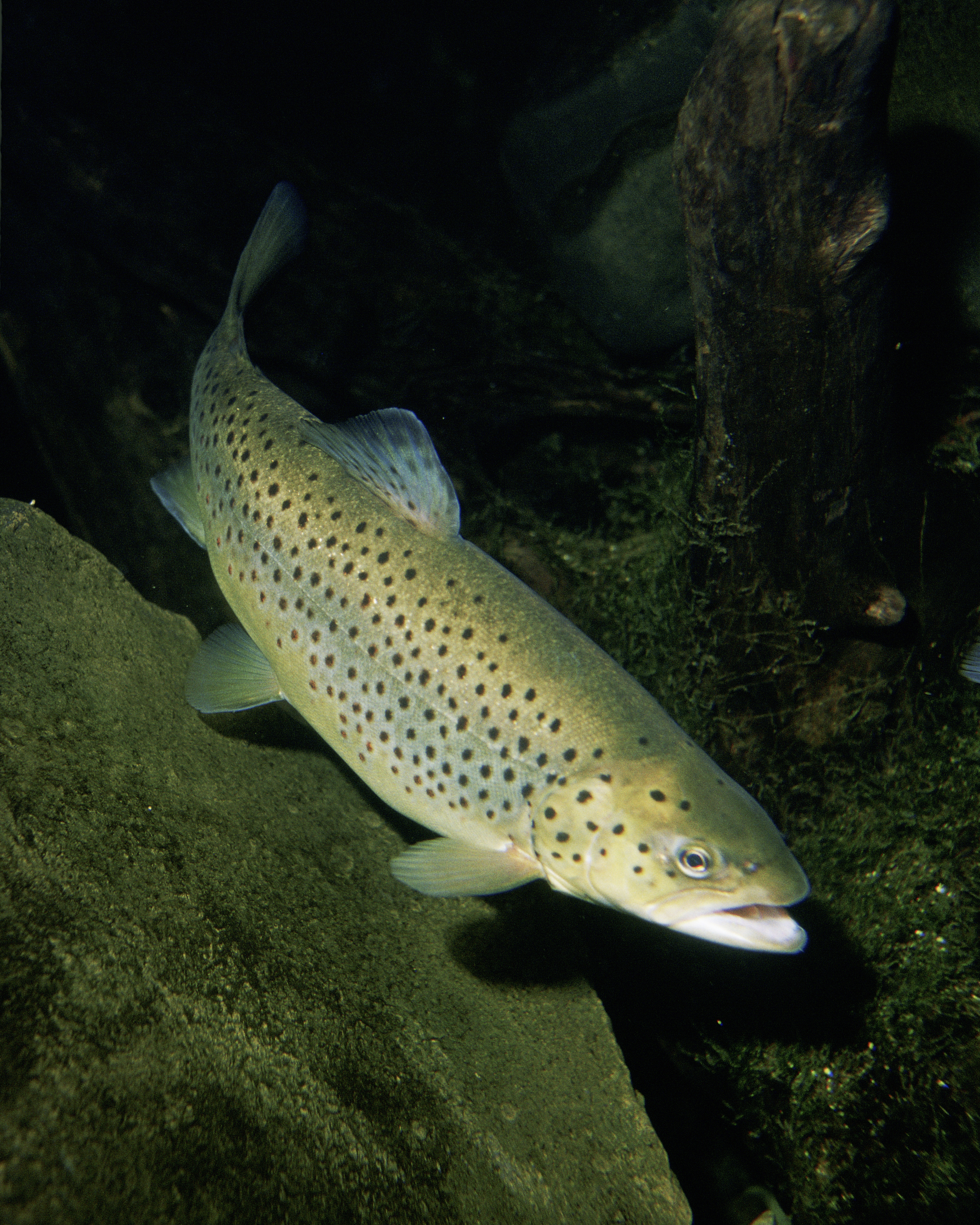 Salmo trutta: (Author, copyrigth Eric Engbretson for U.S. Fish and Wildlife Service)