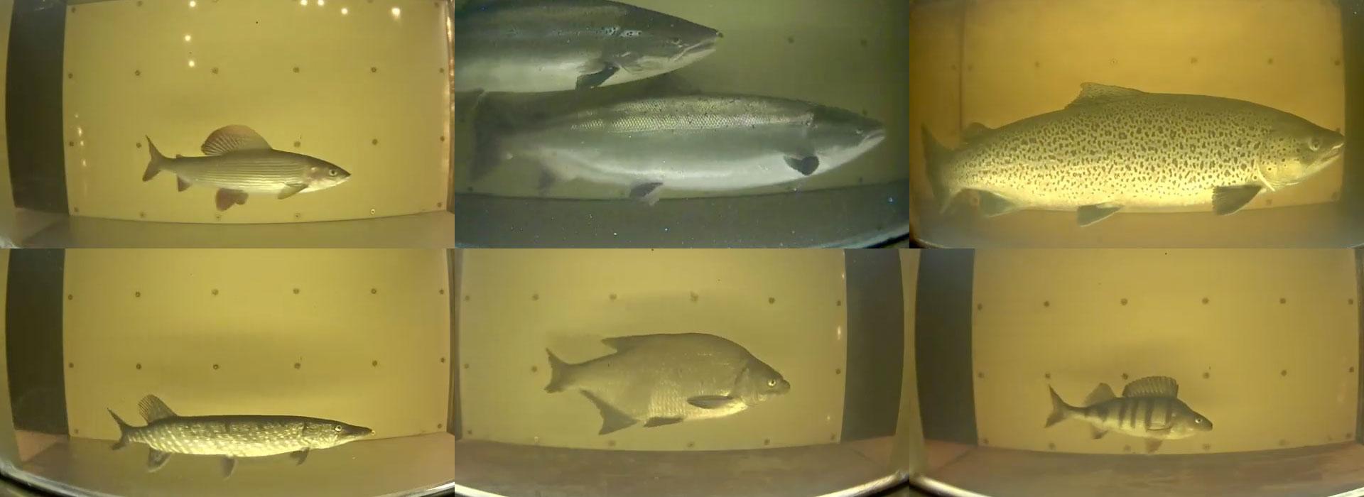 Fiskräknare